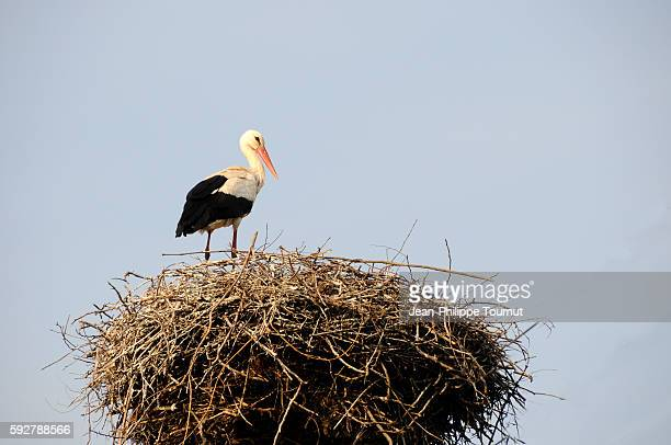 White stork in its nest near Tokaj, Hungary