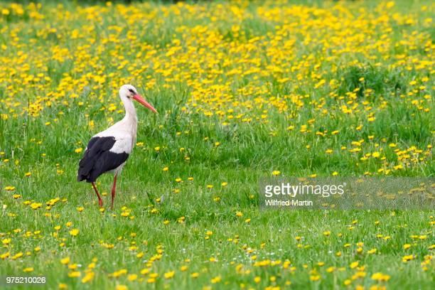 White stork (Ciconia ciconia) in meadow with dandelions (Taraxacum), Masuria, Poland