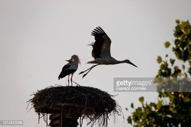 A white stork leaves a nest as the other parent stays behind at sunset on May 20 2020 near Avenches western Switzerland where dozens of this...