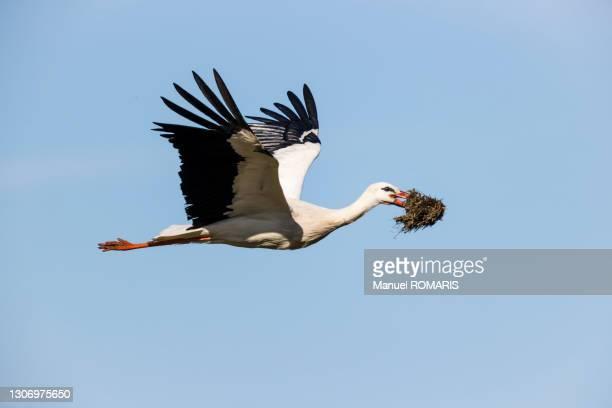 white stork - dierennest stockfoto's en -beelden