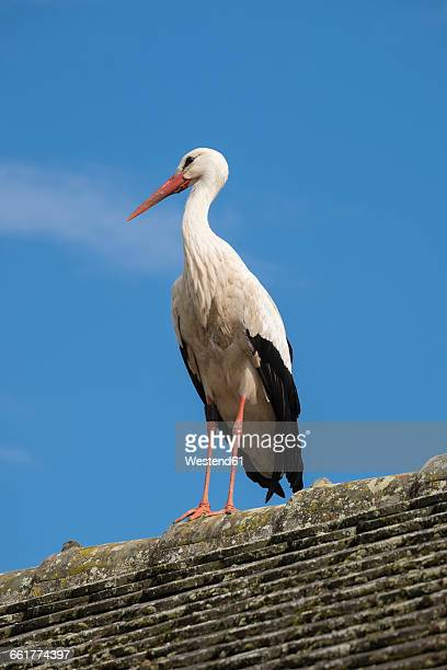 White stork standing on rooftop