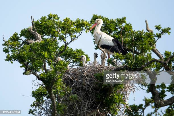 White Stork tends to chicks in a nest on May 27 2020 in Horsham England The birds are one of several breeding pairs in an area of Horsham and the...