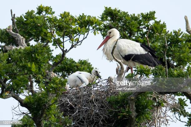 White Stork tends to chicks in a nest on May 27, 2020 in Horsham, England. The birds are one of several breeding pairs in an area of Horsham, and the...
