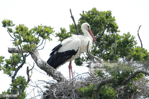 White Stork tends to chicks on a nest on May 27 2020 in Horsham England The birds are one of several breeding pairs in an area of Horsham and the...