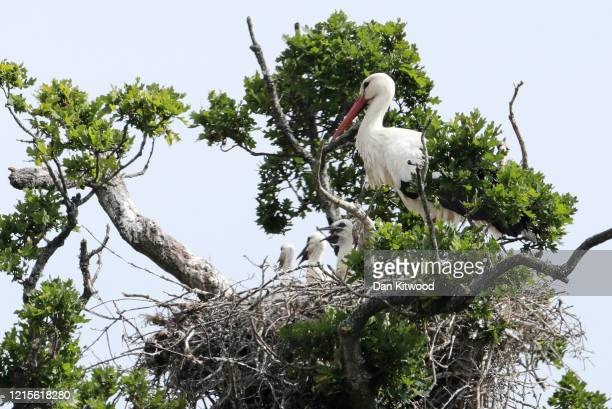 White Stork tends to three chicks in a nest on May 27 2020 in Horsham England The birds are one of several breeding pairs in an area of Horsham and...