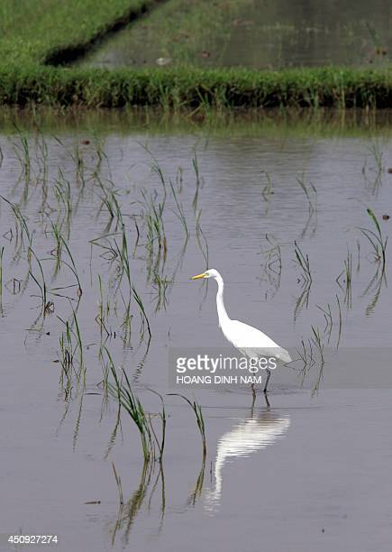 White stork walks looking for foods on a rice field in the central province of Quang Ngai 28 November 2005. One wonders how bird-flu hit Vietnam can...