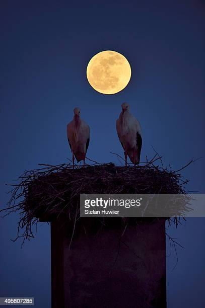 White Storks -Ciconia ciconia- perched on the nest at full moon, Canton of Aargau, Switzerland