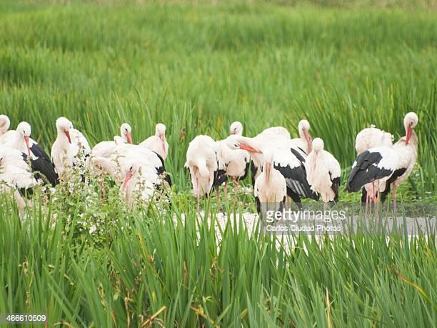 white storks (ciconia ciconia) preening feathers - アラバ県 ストックフォトと画像