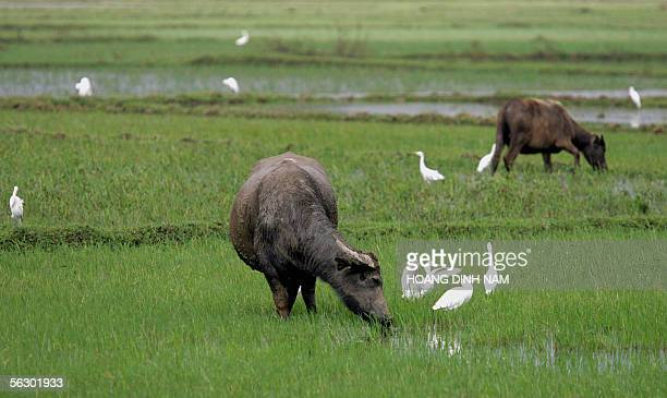White storks walk looking for foods next to buffalos on a rice field in the central province of Quang Ngai 28 November 2005 One wonders how birdflu...