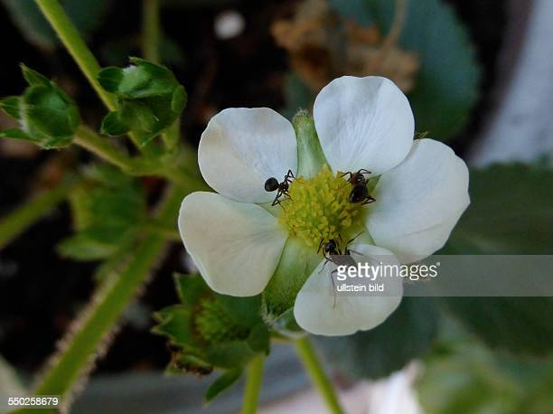 White Strawberry blossom Weisse Erdbeerbluete Fragaria Berlin Lichterfelde 060613