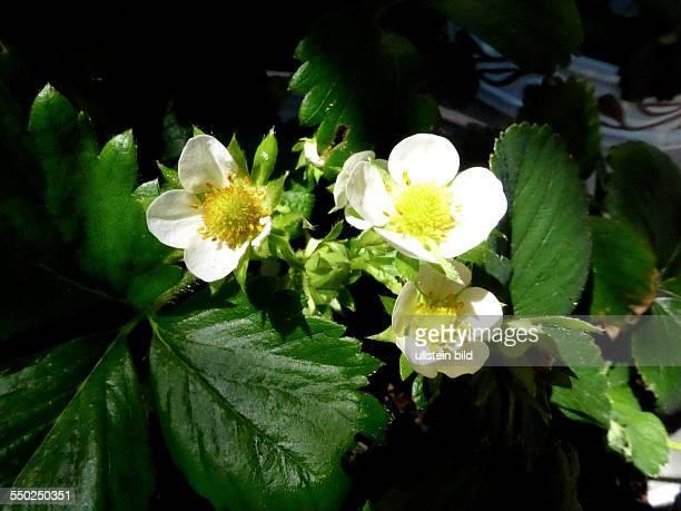 White Strawberry blossom Weisse Erdbeerbluete Fragaria Berlin Lichterfelde 180513