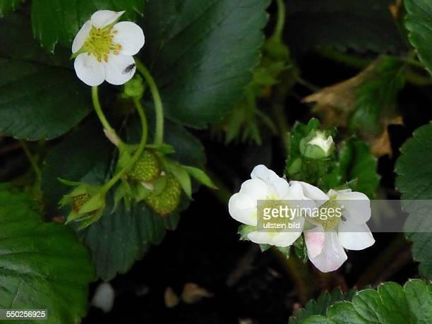 White Strawberry blossom Weisse Erdbeerbluete Fragaria Berlin Lichterfelde 260513