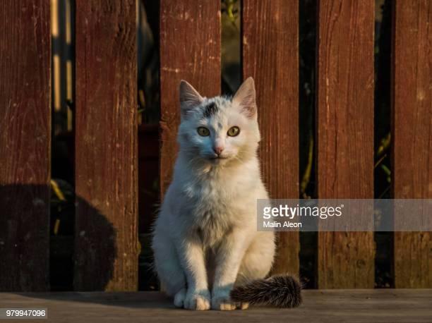 white stray cat sitting near fence, bukovina, romania - stray animal stock pictures, royalty-free photos & images