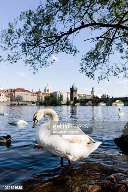 White swan and Prague skyline with Vltava river and Charles bridge, Czech Republic