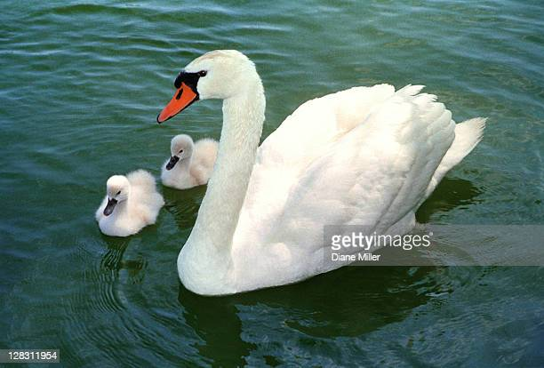 White swan and two cygnets floating in water
