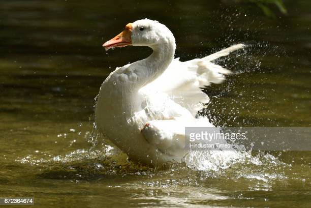 White Swan cools off at Zoological Park on a hot summer day on April 24 2017 in New Delhi India
