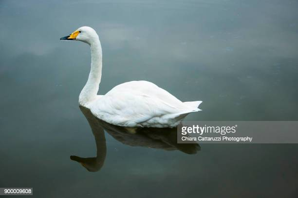 white swan in a the water - swan stock pictures, royalty-free photos & images