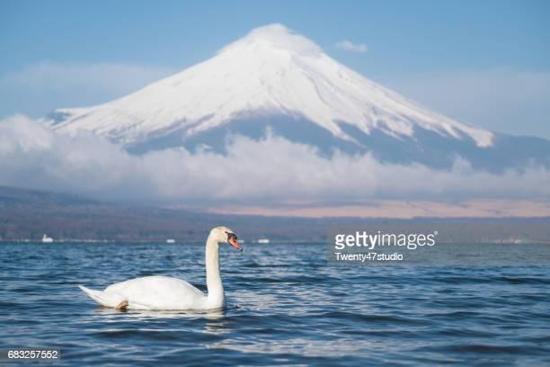 White swan in lake Yamanaka
