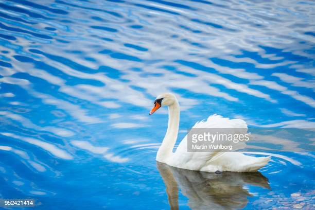 white swan in norwegian fjord water - swan stock pictures, royalty-free photos & images