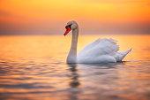 White swan in the sea water,sunrise shot