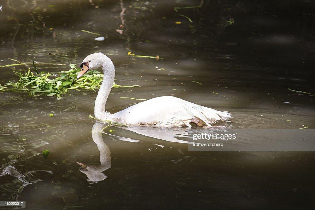 Cisne branco : Foto de stock