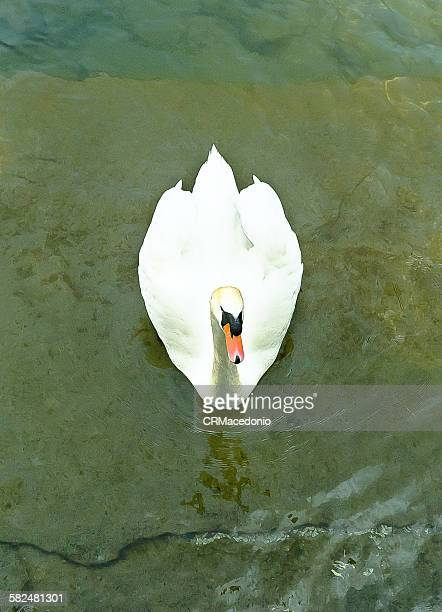 white swan - crmacedonio stock pictures, royalty-free photos & images