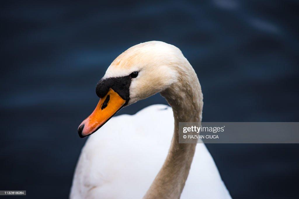 White swan portrait : Stock Photo
