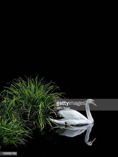 White swan swimming among reeds