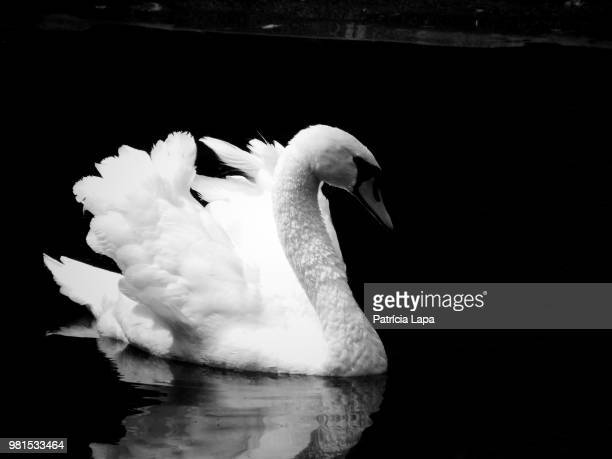 white swan (cygnus) swimming on lake - swan stock pictures, royalty-free photos & images