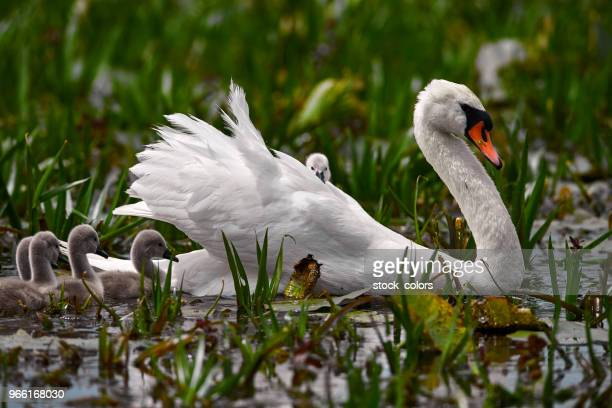 white swan with her babies