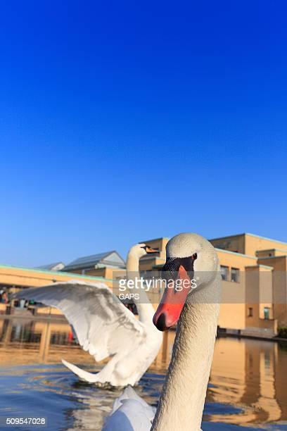 Branco cisnes na frente de Haia é Gemeentemuseum