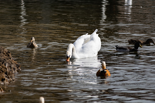 White swans together with various ducks and drakes swim freely and calmly in a freshwater quiet pond 1219553430