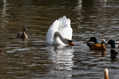 White swans together with various ducks and drakes swim freely and calmly in a freshwater quiet pond 1219553448