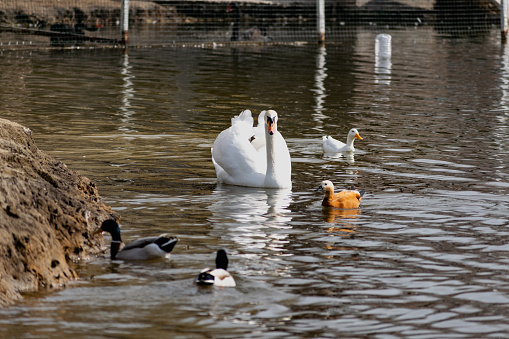 White swans together with various ducks and drakes swim freely and calmly in a freshwater quiet pond 1219553464