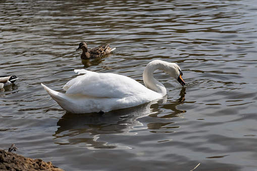 White swans together with various ducks and drakes swim freely and calmly in a freshwater quiet pond 1225547387