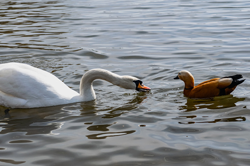 White swans together with various ducks and drakes swim freely and calmly in a freshwater quiet pond 1225547428