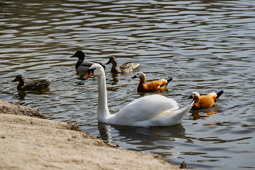 White swans together with various ducks and drakes swim freely and calmly in a freshwater quiet pond 1225547441