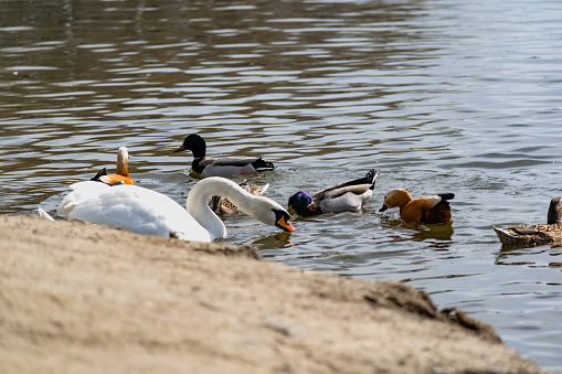 White swans together with various ducks and drakes swim freely and calmly in a freshwater quiet pond 1225547472