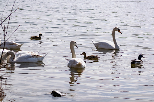 White swans together with various ducks and drakes swim freely and calmly in a freshwater quiet pond 1225547485