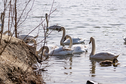 White swans together with various ducks and drakes swim freely and calmly in a freshwater quiet pond 1225547487