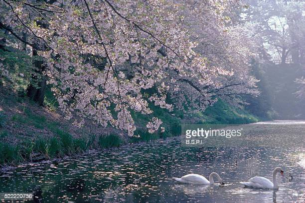 White Swans Under Blooming Cherry Trees
