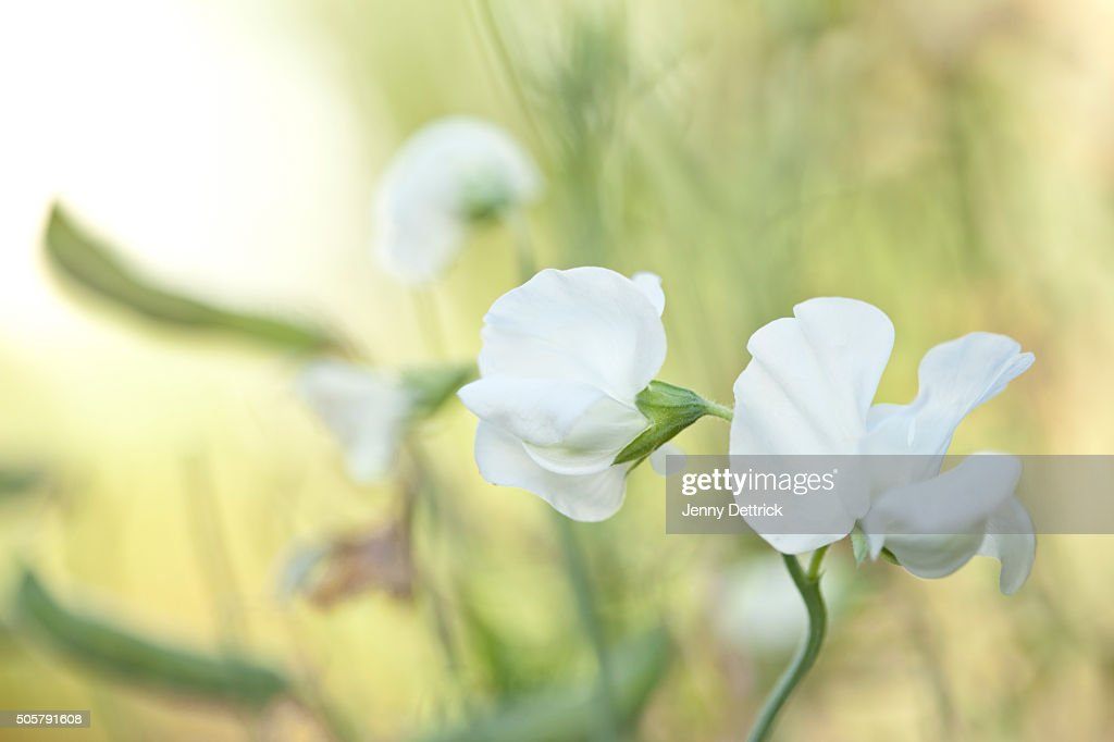 White sweet pea flowers stock photo getty images white sweet pea flowers stock photo mightylinksfo Gallery
