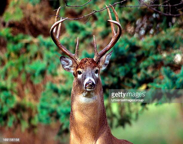 White Tail Buck photographed just leaving a bird feeder with bird seed on his nose
