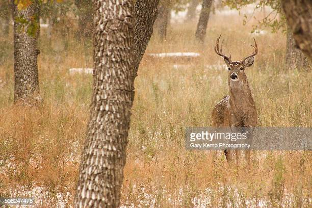 white tail buck - white tail buck stock photos and pictures