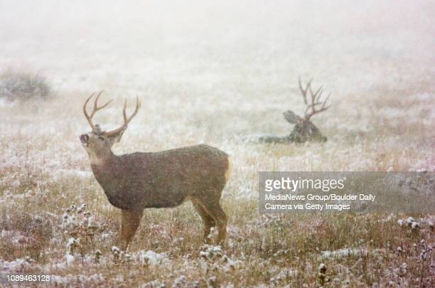 A white tail buck smells the air in a meadow below NCAR in Boulder as snow falls on Tuesday