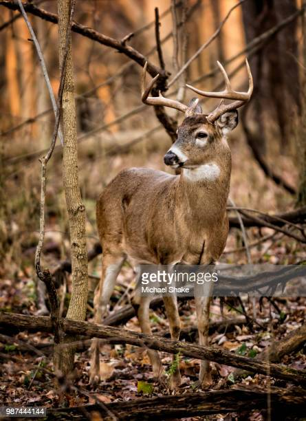 white tail deer buck - white tail buck stock photos and pictures