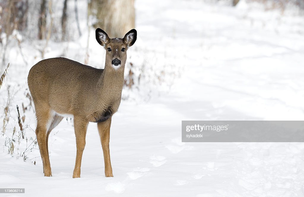 White Tail Deer Copy Space : Stock Photo