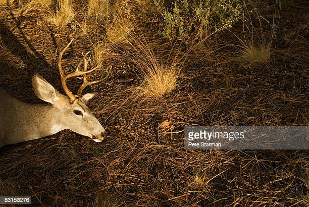 white tail deer head(buck) - dead deer stock photos and pictures