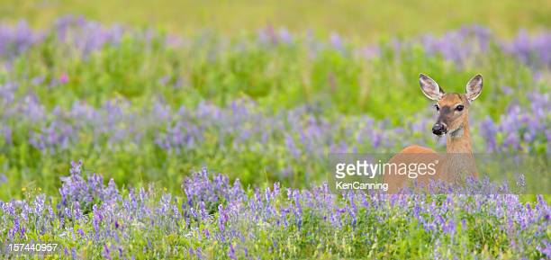 white tail deer in spring flower meadow - white tail deer stock photos and pictures