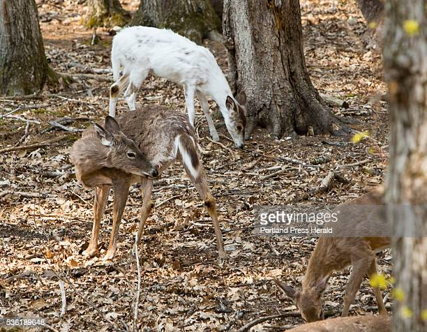 White tail deer including a rare albino graze at the Maine Wildlife Park in Gray on Thursday May 12 2016